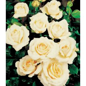 Rosier Berenice ® Harclue