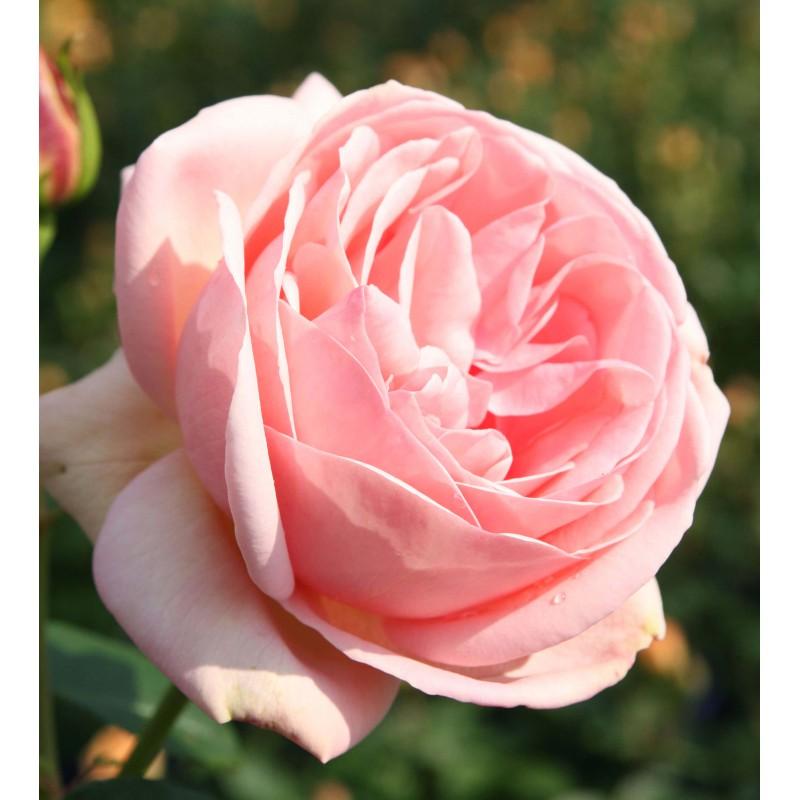 Rosier Laurette Fugain ® Tan00847