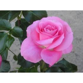 Rosier Nicole Calfan ® Pannico