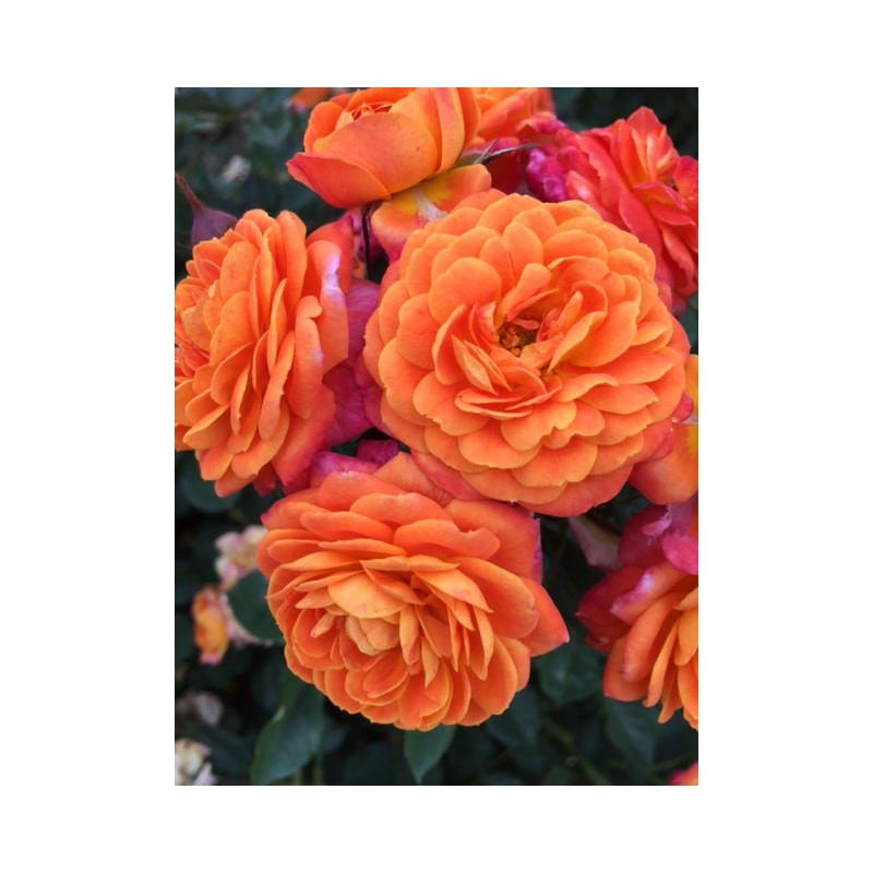 Rosier Don Pacello ® Pandocell