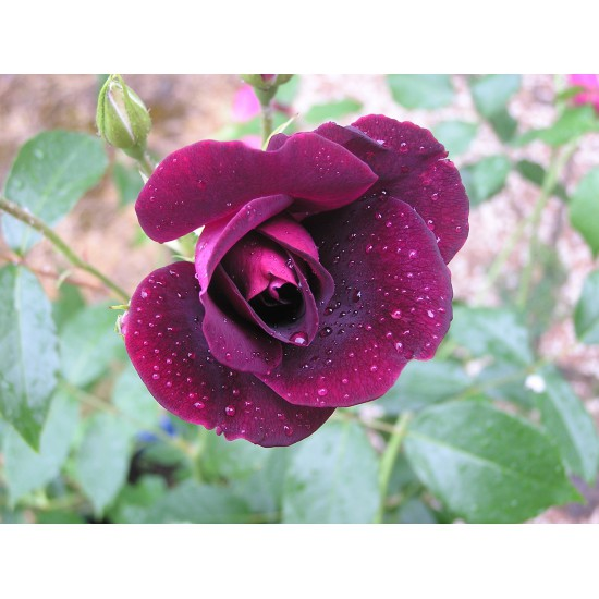 Rosier Purple Star ® Panstar