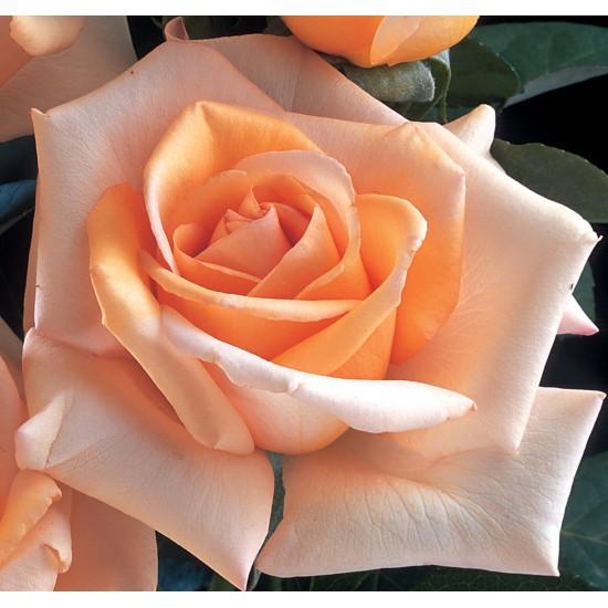 Rosier Jolie môme ® fryxotic