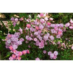 Rosier Lavender Dream ® Interlav