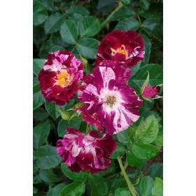 Rosier Purple Splash ® Wekspitrib