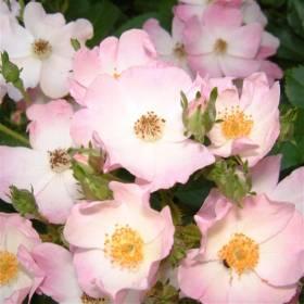 Rosier Kew Rambler