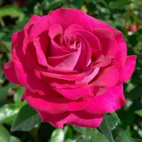 Rosier Belles Rives ® Meizolnil