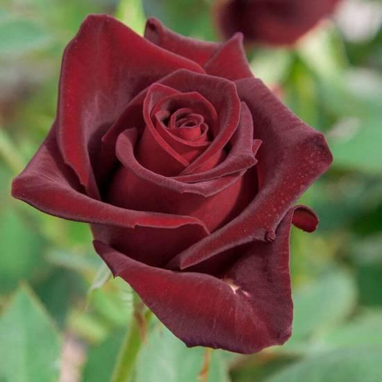 Rosier Black baccara ® meidebenne