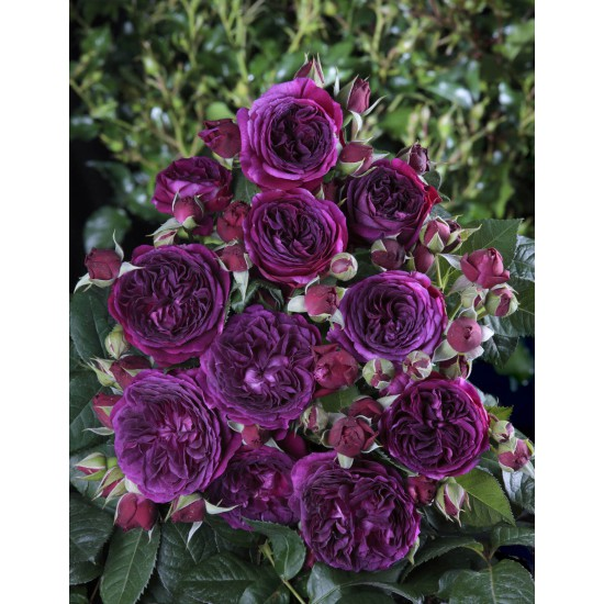 Purple Lodge ® Ora2437