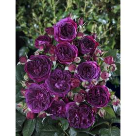 Rosier Purple Lodge ® Ora2437