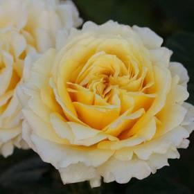 Rosier Cyrano de Bergerac ® Var. Meivanery