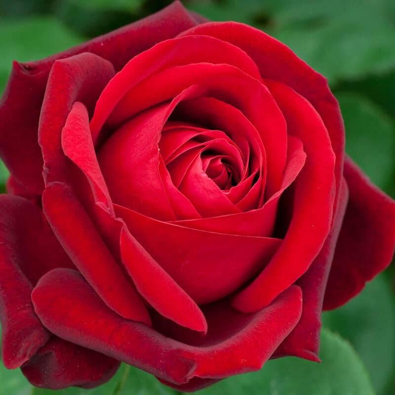 Rosier tige Edith Piaf ® Var. Meiramboys