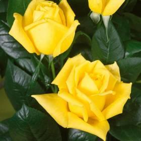 Rosier tige Landora ® Sunblest