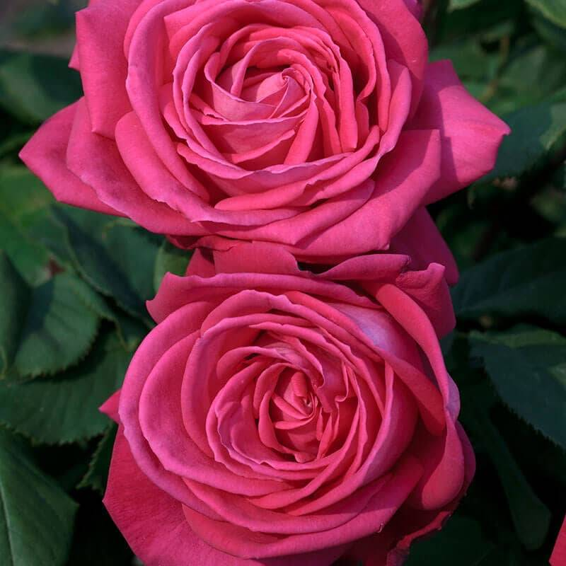 Rosier Lolita Lempicka ® meizincaro