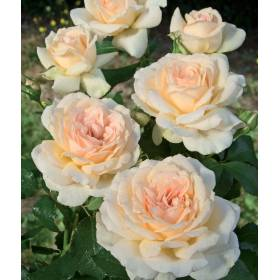 Rosier tige Sweet Love ® Harmisty
