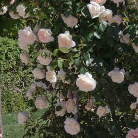 Rosier grimpant Mon jardin ma maison ® meichavrin