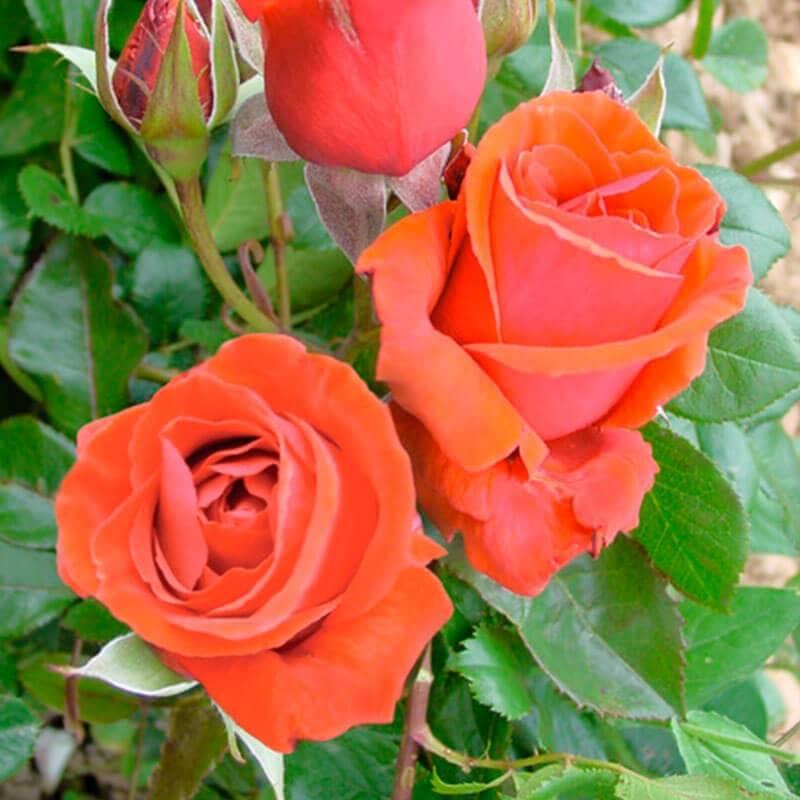 Rosier Nuage parfumé ® Olfragrasar