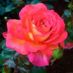Rosier Parfum De Grasse ® adavorjap