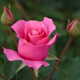 Rosier The McCartney Rose ® meizeli