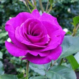 Rosier grimpant Violette Parfumée ®