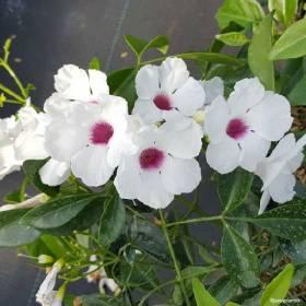 Pandorea Jasminoide blanc