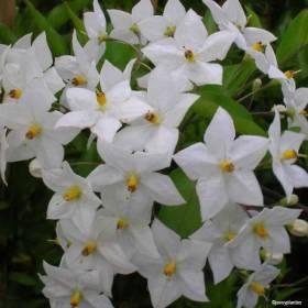 Solanum Jasminoide blanc