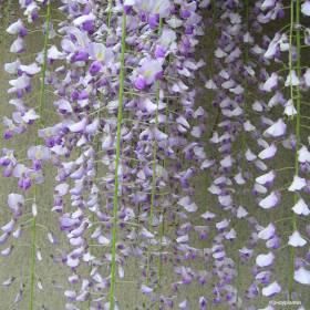 Glycine du Japon 'Macrobotrys'