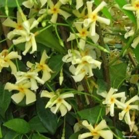 Jasmin Asiaticum