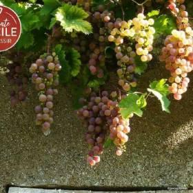 Vigne Chasselas Rosé