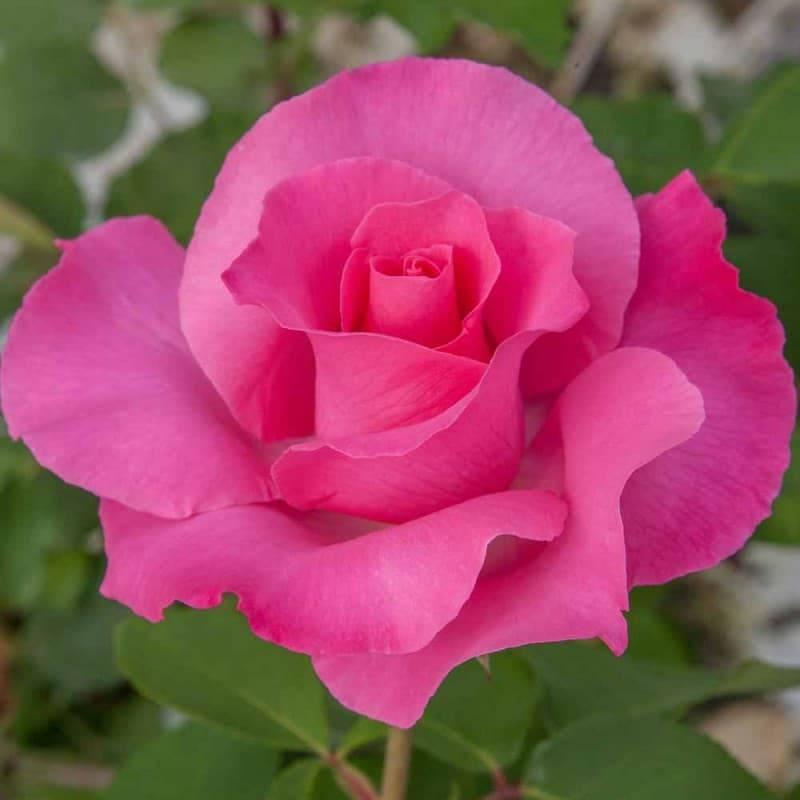Rosier tige The McCartney Rose ® meizeli