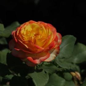 Rosier Etna ®