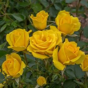 Rosier Rayon De Soleil ® Meianycid