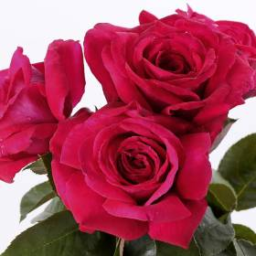 Rosier Reine Des Parfums ® Ora 9898B