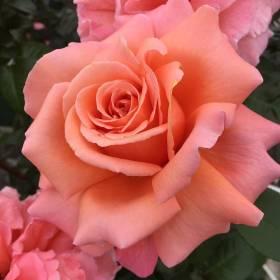 Rosier Parfum De Loire ® Pinecial