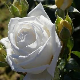 Rosier Jeanne Coeur ®