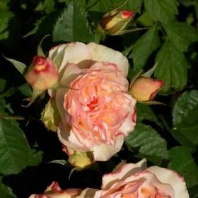 Rosier Perfume Kisses ® Wekmootono