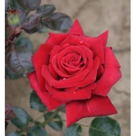 Rosier tige Rouge Adam ® Adahuin